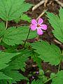 90px-Geranium_robertianum_003