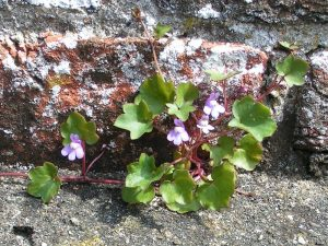 Ivy-leaved_toadflax_800